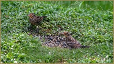 Red-winged Blackbird (Females)