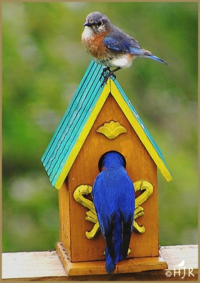 Eastern Bluebirds