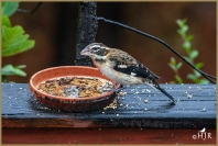 Rose-breasted Grosbeak (F)