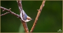 Brown -headed Nuthatch