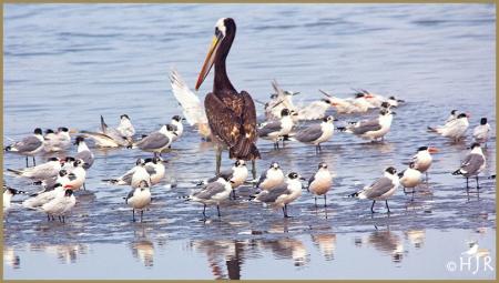 Peruvian Pelican - Laughing Gulls