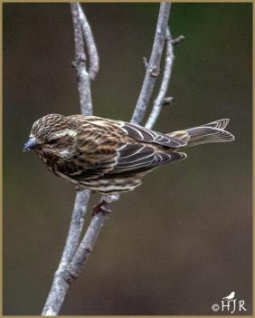 Purple Finch (F)