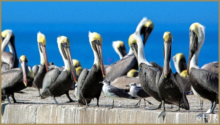 Brown Pelicans and Gulls