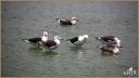 Belcher's Gulls