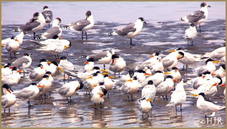 Royal Terns