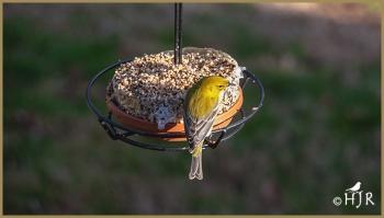 Pine Warbler (M)