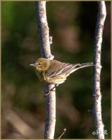 Pine Warbler (F)