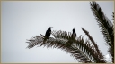 Boat-tailed Grackles