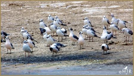 Gray-headed Gulls