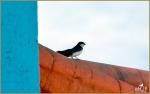 Set#12-a – TreeSwallow