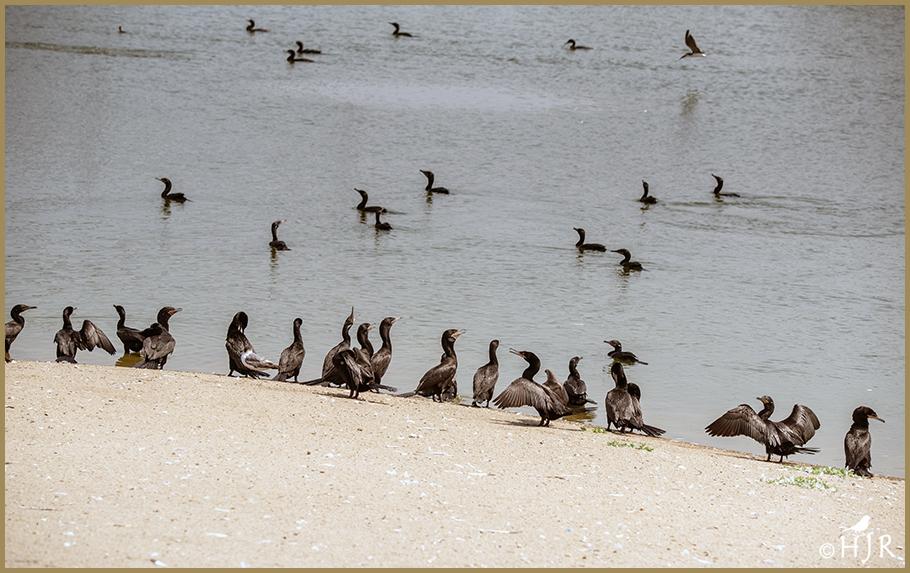 Double-crested Cormorants