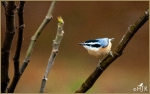 Set#67-a – Red-breastedNuthatch