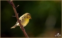 American Goldfinch (F)