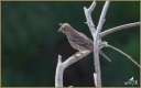 House Finch (Fledgling)