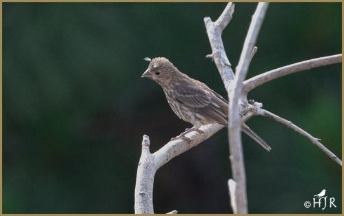 House Finch (Fledgling)