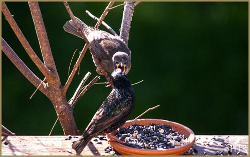 European Starling (Family)