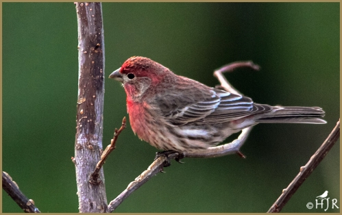 House Finch (M)