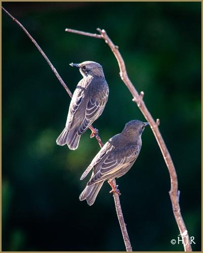European Starlings (Juv.)