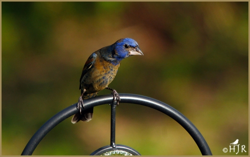 Blue Grosbeak (Juv.)