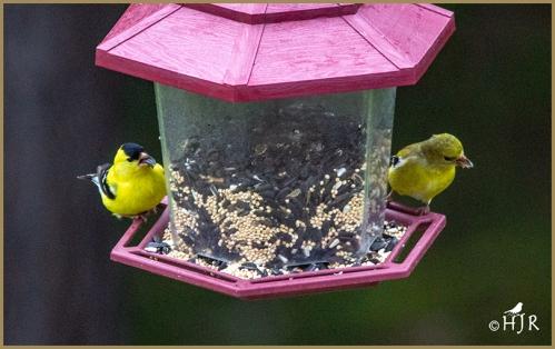American Goldfinch (Male & Female)