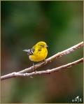 Set#148-a – Pine Warbler (Male &Female)