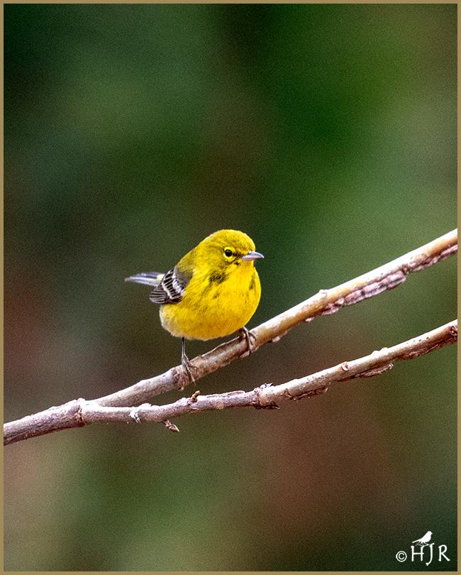 Pine Warbler (Male & Female)
