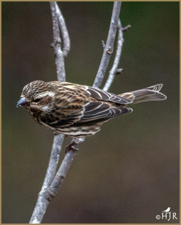 Purple Finch (F)
