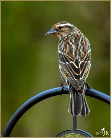 Red-winged Blackbird (F)