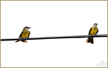 Tropical Kingbirds