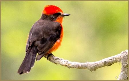 Vermillion Flycatcher (M)