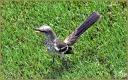 Northern Mockingbird (Juv.)