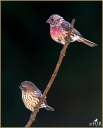 House Finches (M & F)