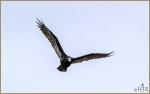 Set#250-a -Turkey Vulture