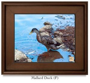 Mallard Duck (F)
