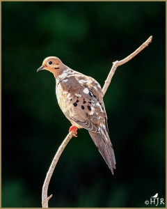 Mourning Dove (Leucitic)