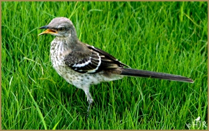 Northern Mockingbird  (Juv.)