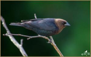 Brown-headed Cowbird (Male)