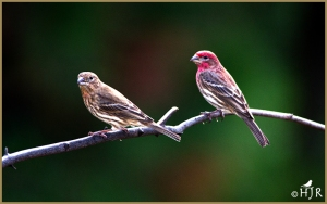 House Finch ( Female & Male)