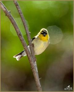 American Goldfinch (Male Non breeding)
