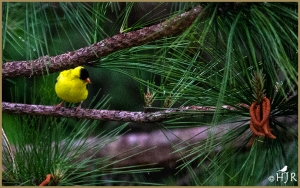 American Goldfinch (Male breeding)