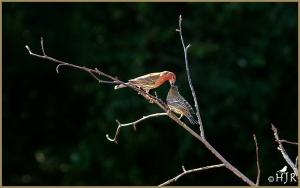 House Finch (Male & Juvenile)