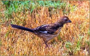 Eastern Towhee (Male, juvenile)
